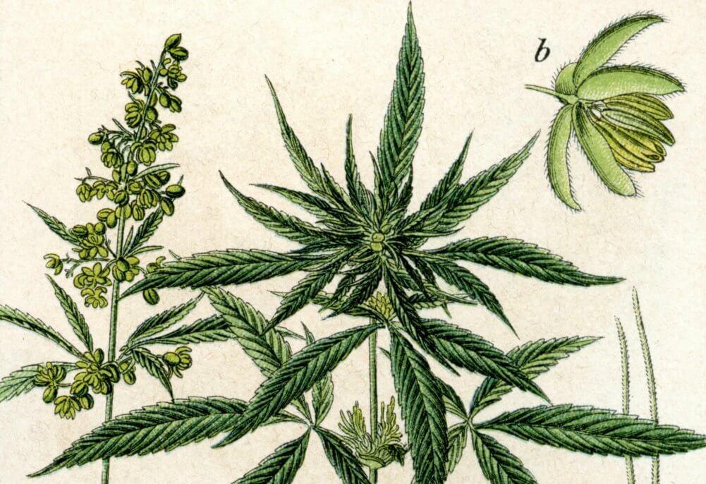 hemp and cannabis sativa history
